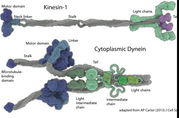 carter2013jcellsci-kinesin-dynein